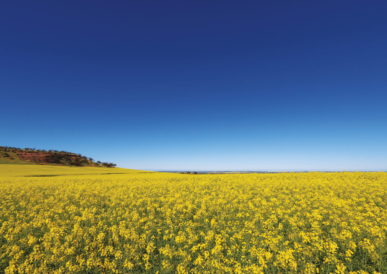 A field of yellow wildflowers and a blue sky