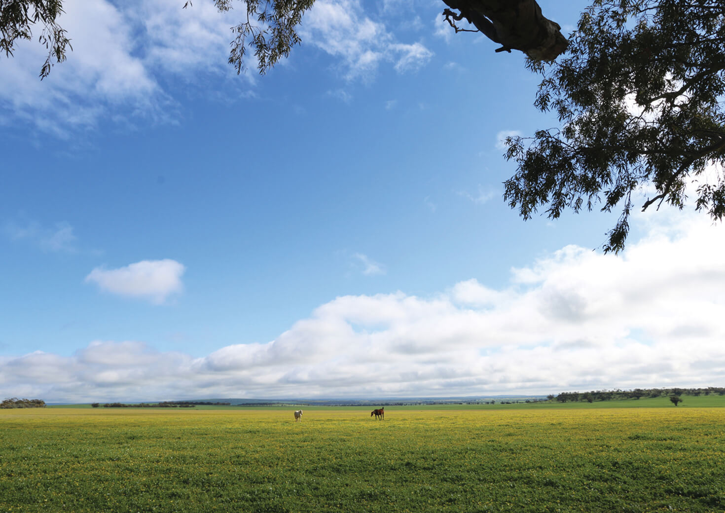 Lush Mingenew field with two horses grazing in distance