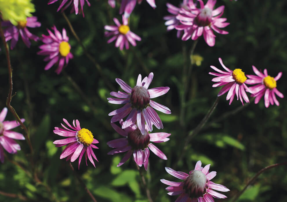 Close up of purple flowers found in Mingenew